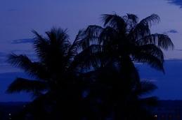ハワイの椰子